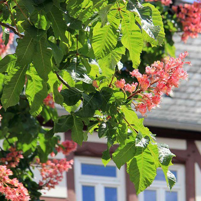 Kastanienblüte in Jena