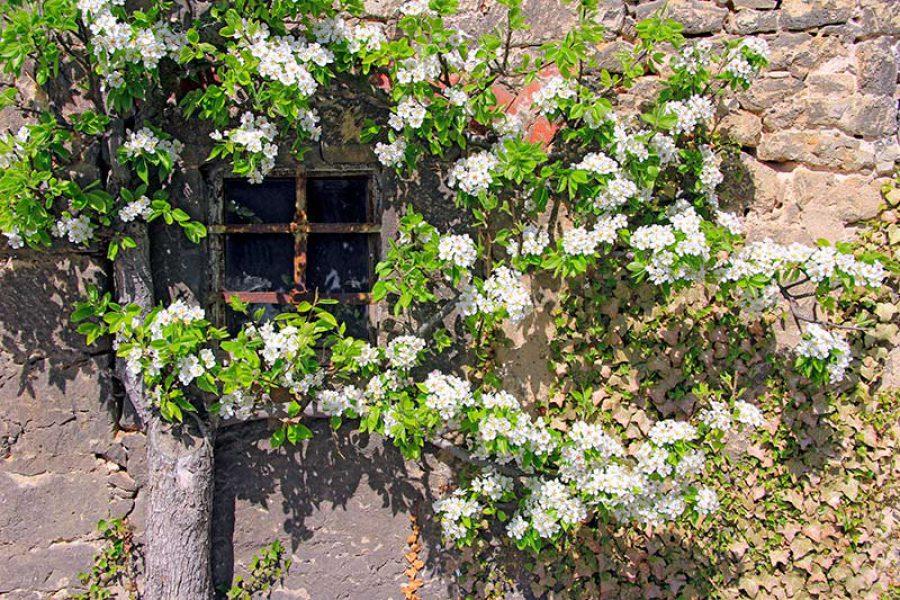 Kirschblüten in Dornburg